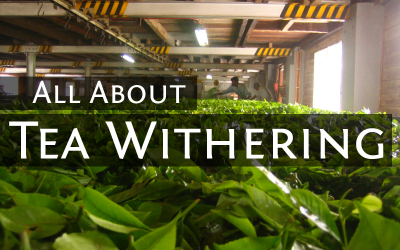 All About Tea Withering