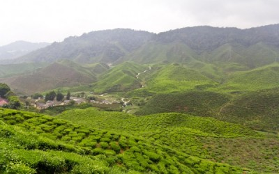Where Does Tea Flavor Come From?