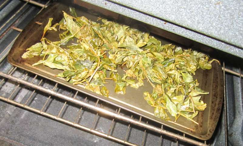 Drying the Green Tea Leaves, by Talia Hirsch